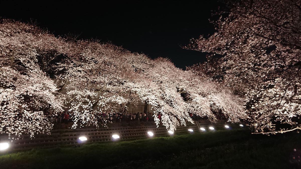 東京都調布市 野川の桜ライトアップ2019